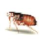 Katzenfloh (Ctenocephalides felis)