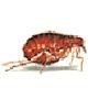 Rattenfloh = Pesffloh (Xenopsylia cheopsis)