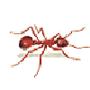 Rasenameise (Tetramorium caespitum)