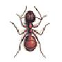 Wegameise, Mattschwarze (Lasius niger)