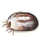 Waldzecke = Holzbock (Ixodes ricinus)