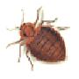 Bettwanze (Cimex lectularius)