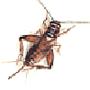 Heimchen = Hausgrille (Acheta domesticus)