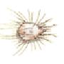 Hausmilbe (Glycyphagus domesticus)