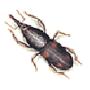 Reiskäfer (Sitophilus oryzae)