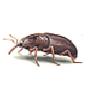 Kornkäfer (Sitophilus granarius)