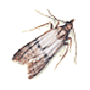 Dörrobstmotte, Kupferotemote (Plodia interpunctella)