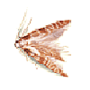 Kornmotte (Nemapogon granellus)