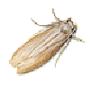Kleidermotte (Tineola biselliella)