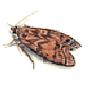 Mehlmotte (Ephestia kuehniella)