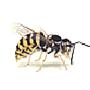 Wespe, Gemeine (Paravespula vulgaris)