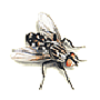 Fleischfliege, Graue (Sarcophaga sp)