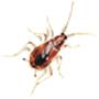 Möbel- oder Braunbandschabe (Supella longipalpa)