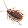Schabe, Amerikanische (Periplaneta americana)