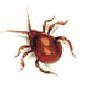 Kugelkäfer (Gibbium psylloides)