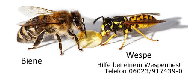 Unterschied Biene Wespe