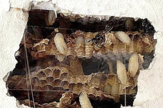 Wespen fressen sich durch die Wand