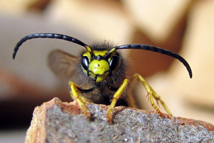 Weitere Informationen Zu Wespen Wespenarten Vertreiben