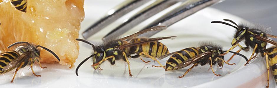 Super Wespen fressen sich durch die Wand EB16