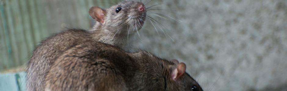 Ratten Vertreiben Tipps Vom Kammerjager